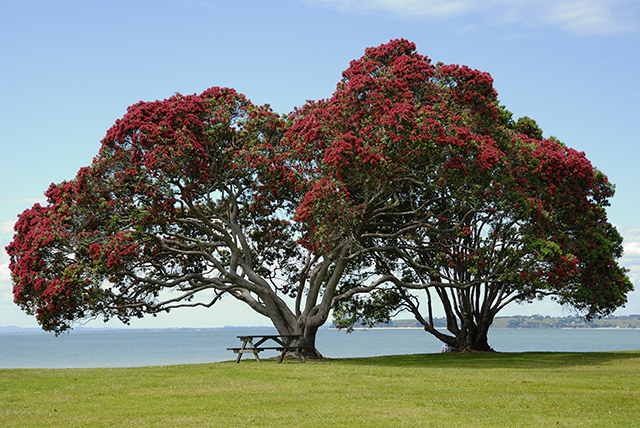 pohutukawa trees flowering over christmas in New Zealand.jpg