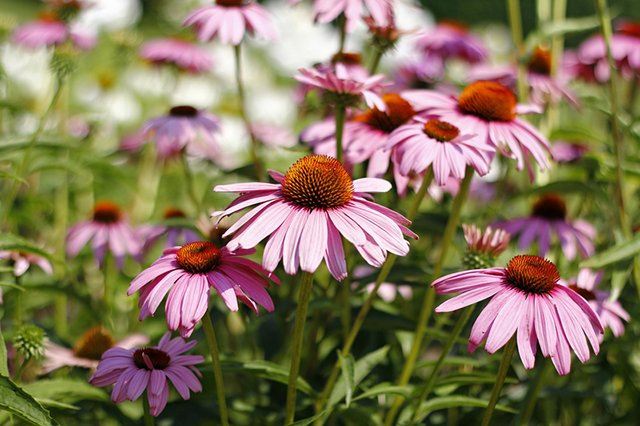 Health benefits of Echinacea.jpg