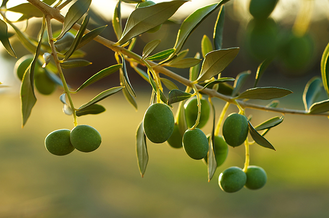 Olive leaf boosts the natural immune response.jpg