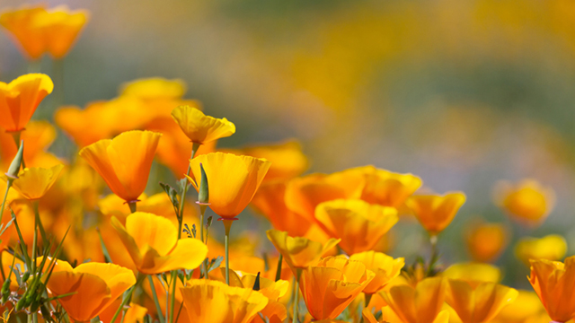 California Poppy Flower.jpg