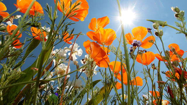 California poppy herb helps improve your sleep.jpg